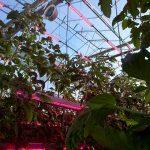Energiebesparing door CO2-doseren in leliebroeierij