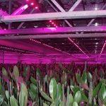 Led-verlichting in drielagenteelt van orchideeen