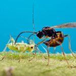 Sluipwesp in kas parasiteert bladluis