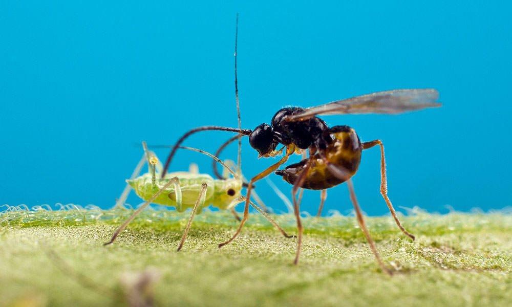 Natuurlijke bestrijding van bladluis naar hoger niveau