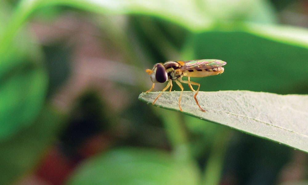 Zweefvlieg Sphaerophoria rueppelli tegen bladluis