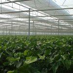 Vrije radicalen, schadelijk maar ook nuttig Plant verdedigt zich vaak te goed tegen lichtstress