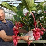 Frank Bakker, potplantenteler in Wateringen: 'Voldoende groeipotentie voor robuuste Medinilla Magnifica'