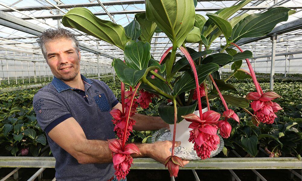 'Voldoende groeipotentie voor robuuste Medinilla Magnifica'