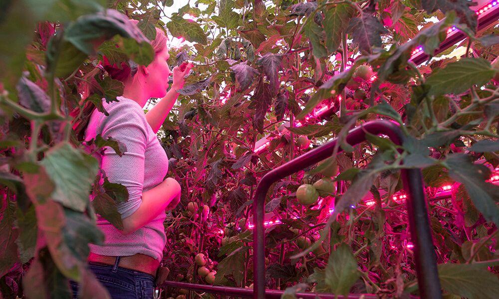 Vervolgonderzoek naar LED's bij tomaat Maximaal belichten voor hoge productie in het voorjaar