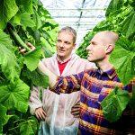 Substraat bewijst meerwaarde in project 'Energiezuinig komkommers telen'