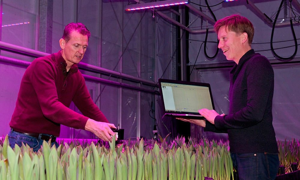 Optimaal lichtrecept voor populaire meerlagenteelt tulp ontrafeld