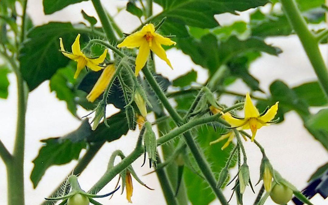 Op zoek naar hitte-tolerant tomatenstuifmeel