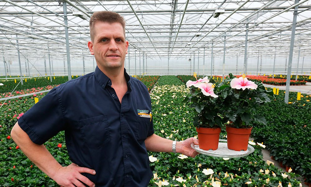 Hibiscuskweker Arjan Peeters in kas met Hibiscus potplant