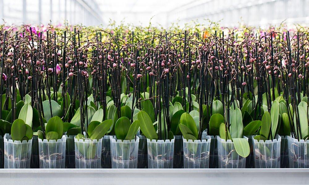 ter laak orchids, phalaenopsis, potorchidee, duurzaam telen, energiebesparing