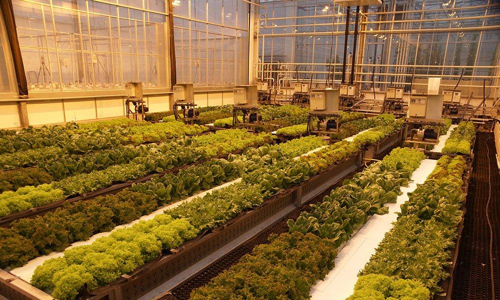 Snelle groei sla in winter met groeilicht