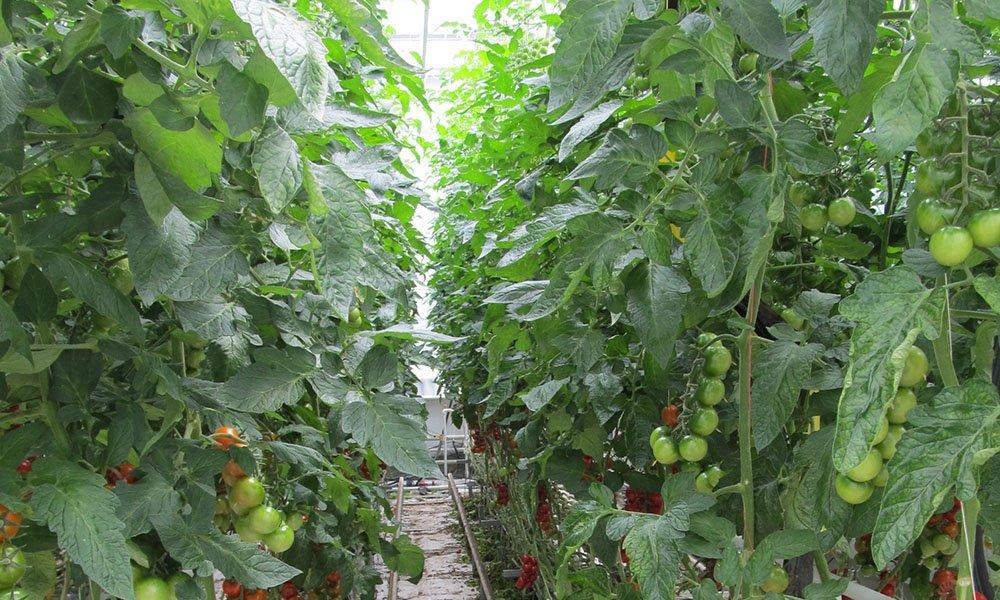 Tomaten in kas