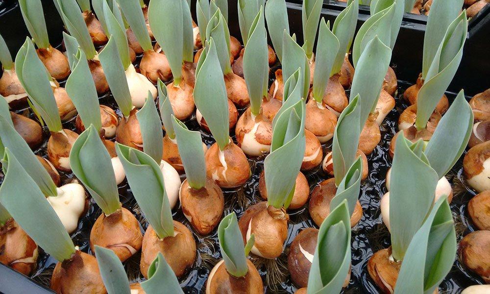 Tulpenbroei op water