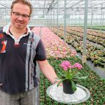 Potplantenteler Teunis Versteeg in kas met Lewisia zomerplant