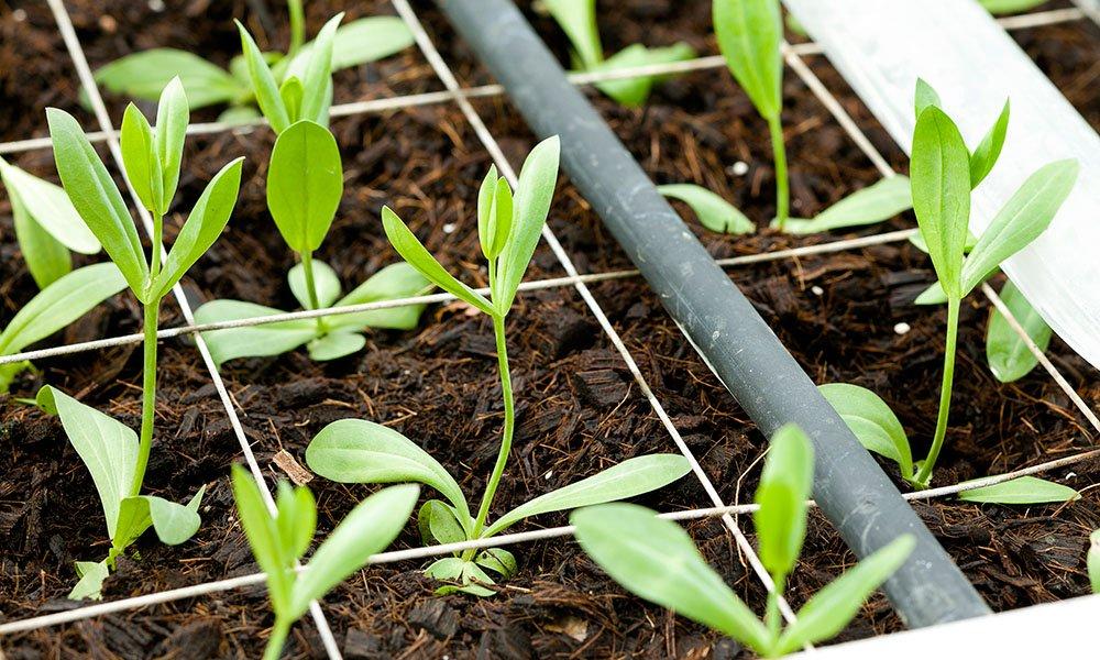 Kokos als volvelds groeimedium voor lisianthus geeft beste resultaten
