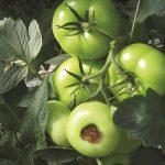 tuinbouw, glastuinbouw, innovatie, techniek, meststoffen, plantgezondheid, plantweerstand, leverancier, Biobest, Greenstim, tomaat, aardbei