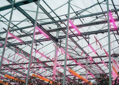 tuinbouw, industrie, glastuinbouw, onderzoek, DLV GreenQ Improvement Centre, LED, verlichting, teeltproef, tomaat, topbelichting, tussenbelichting, belichtingsstrategie, Philips, Monsanto, Cultilene