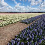 Kenniscentrum Plantenstoffen, Wageningen UR, onderzoek, natuurlijke cosmetica, hyacint, geranium, chrysant, orchidee, glastuinbouw, industrie