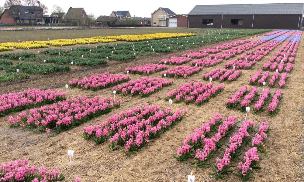 Agrifirm, Proeftuin Zwaagdijk, open middag, bloembollen, tulp, hyacint, narcis, gewasbescherming, lezingen, proefvelden, innovatiemarkt, tuinbouw