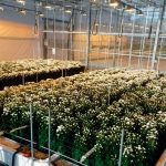This is the fourth time that trial station Proeftuin Zwaagdijk successfully concluded a trial investigating the hydroponic culture of chrysanthemums.