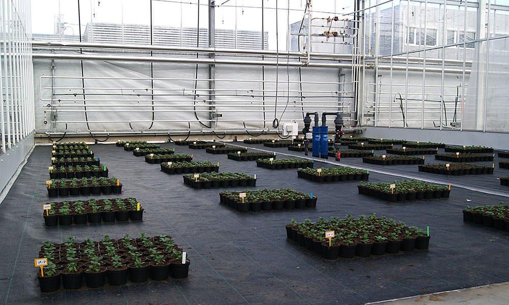 Is het mogelijk om compacte groei bij perkplanten te stimuleren met gebruik van natuurlijke middelen in plaats van chemische groeiregulatoren? Deze vraag stond centraal in een perkplantenproef bij het Delphy Improvement Centre in Bleiswijk.