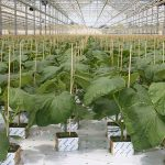 Bij een meetproject over wateropname, vers gewicht groei en verdamping bij een komkommerteler werd gedurende de eerste week om de dag water gegeven.
