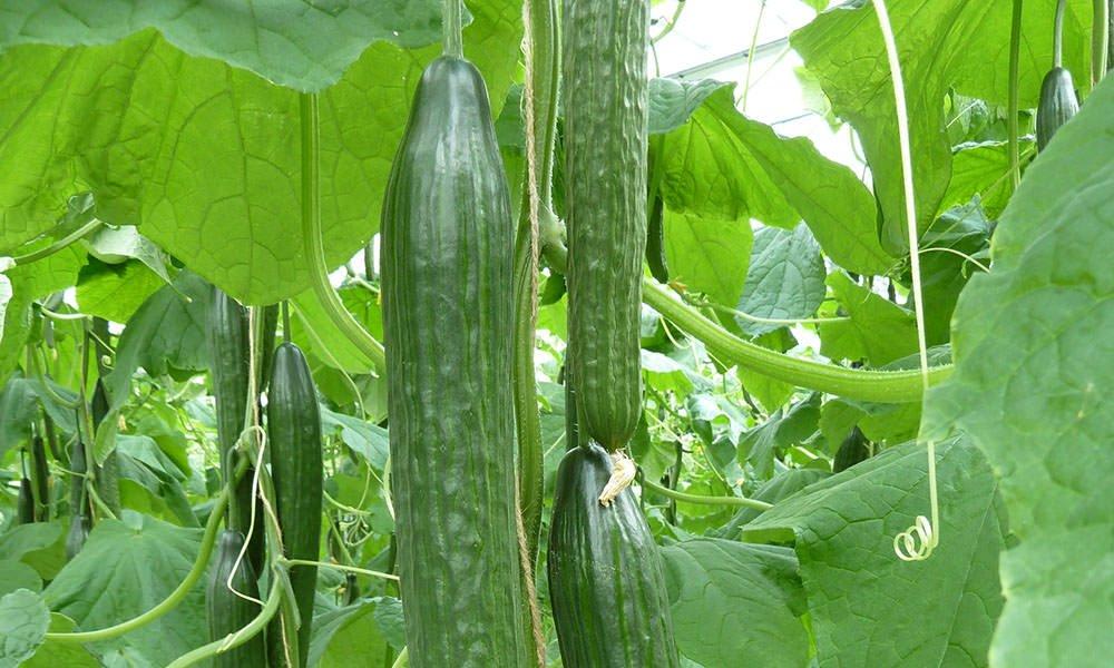 Parthenocarp ras kan oplossing zijn bij vruchtzettingsproblemen