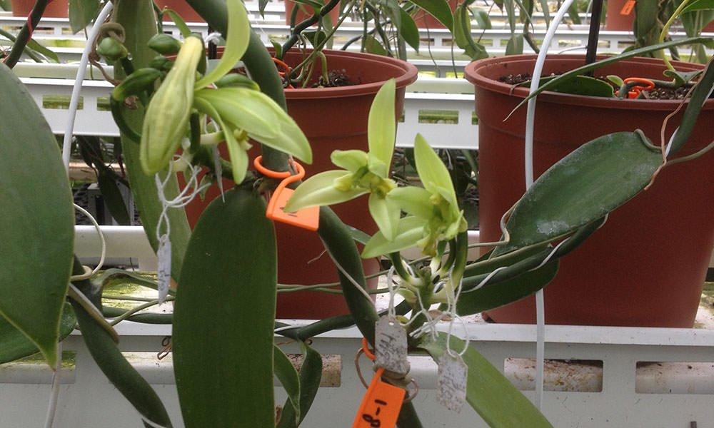 Opnieuw bloeiende vanilleplanten in Nederlandse kassen