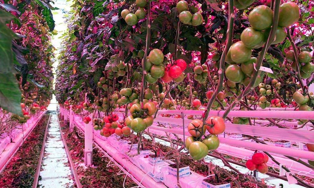 Tros-cherry tomatenras Juanita onder 100% LED's