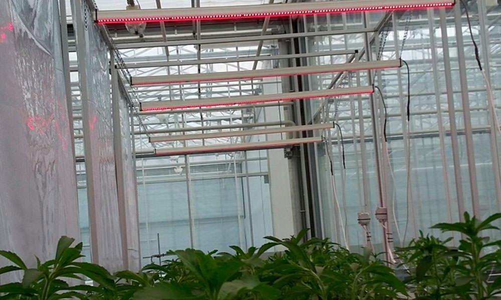 Onderzoek stevia in project 'Kas als Apotheek'