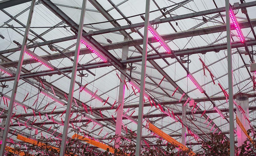 LED lighting allows energy consumption to be reduced in the cultivation of tomatoes with assimilation lighting: energy consumption can be cut in half.