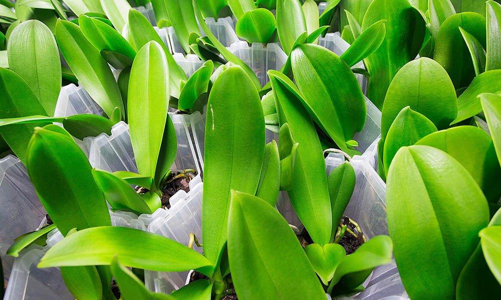 Phalaenopsis orchidee opkweek