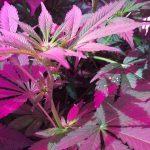 Seedo geautomatiseerde cannabisteelt