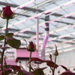 Red Naomi kwaliteitsroos in kas onder 100% LED-belichting