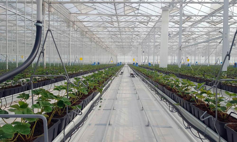 Aardbeienkas in China