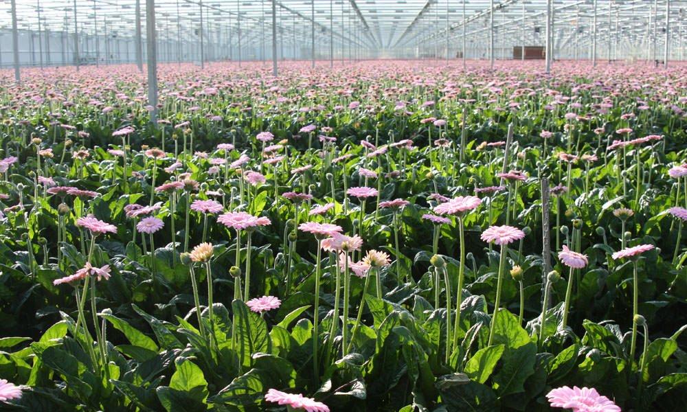 Geberatelers hebben qua klimaat goed jaar achter de rug. Wel heeft warme weer in de weken aan het eind van de zomer het gewas en de productie verstoord.