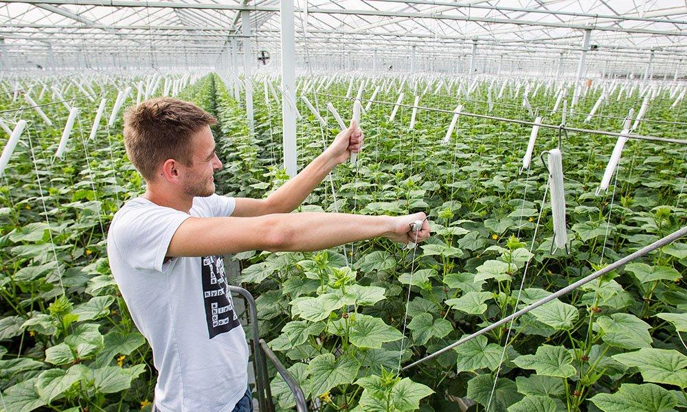 Gebruik van hogedraadteelt en groeilicht neemt naar de verwachting van gewasspecialist Paul van Dijck verder toe in 2017