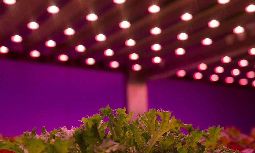 sla onder led-verlichting in indoor farm
