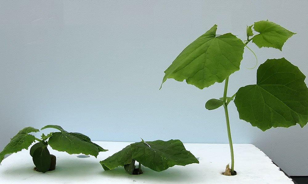 komkommer planten