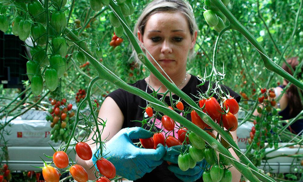 In veel Noord-Europese landen is of lijkt het mogelijk om lokaal geteelde tomaten voor een hogere prijs te verkopen dan geïmporteerde tomaten uit Nederland.