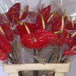 Teelttips voor snij-anthurium: bloemkwaliteit