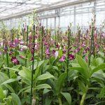 De belangstelling voor kokossubstraat bij phalaenopsisteelt groeit