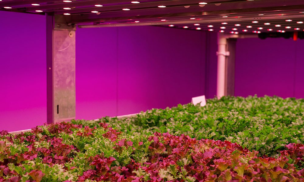 Teelt van sla onder LED-belichting in gesloten ruimte