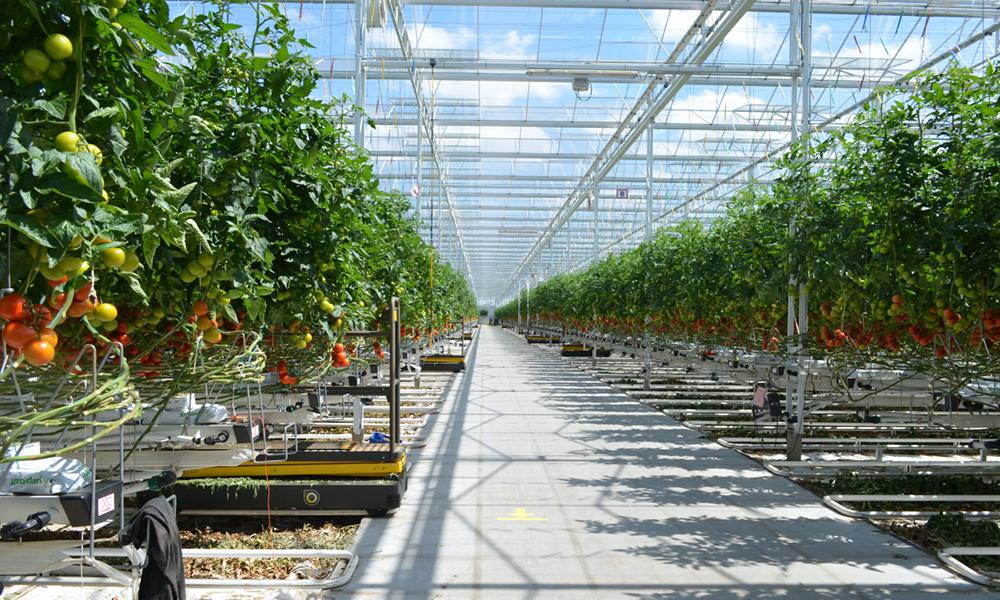 Uniek aquaponicssysteem creëert win-winsituatie voor Tomato Masters en Aqua4C