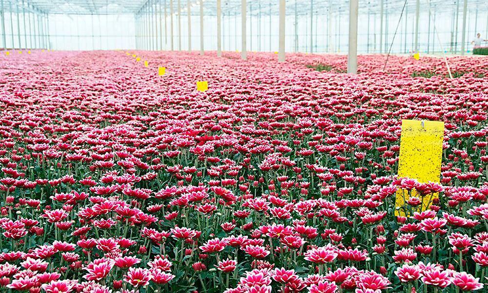 Voor goede bloemkleuren is optimale assimilatie een eerste vereiste. Anthocyanen worden bij hoge temperaturen minder gevormd en sneller afgebroken.