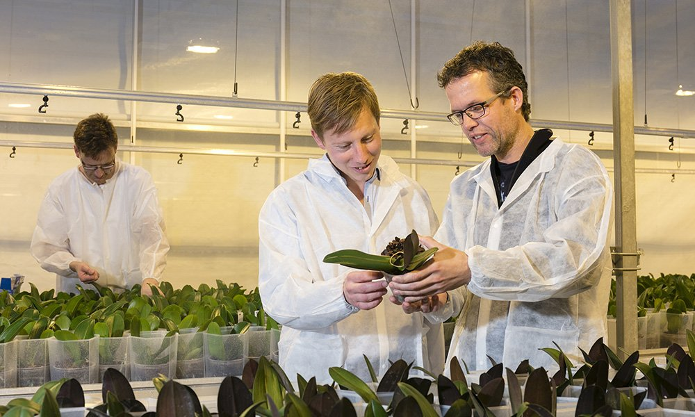 Phalaenopsistelers passen stapsgewijs belichtingsstrategie aan