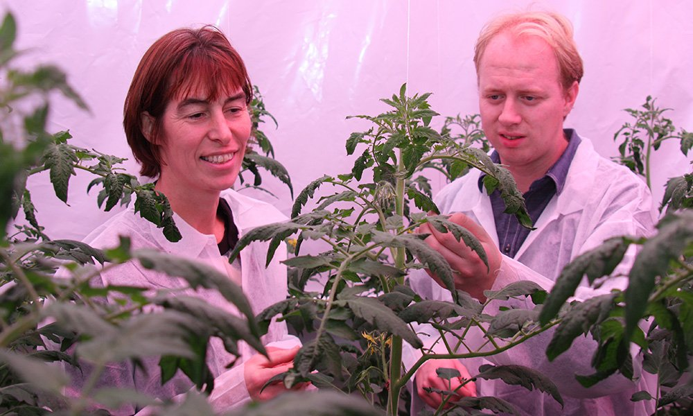 In deze laatste kasproef met tomaten van het ras Komeett, kregen de planten 85 µmol/m2/s blauw of groen licht, aangevuld met 220 µmol/m2/s rood licht.