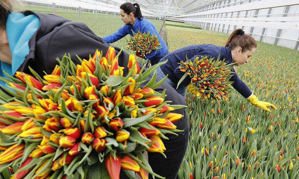 De tulpenproductie in Nederland bereikte dit jaar een record met 2 miljard tulpen