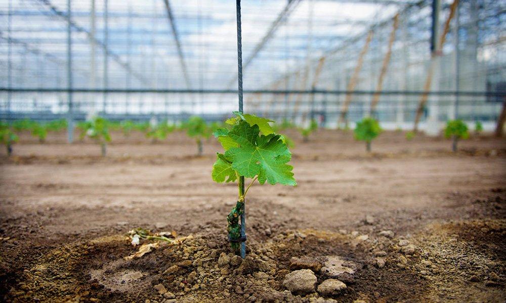 Wijnerij De Belaeving is de eerste wijnproducent die wijn maakt met wijnplanten die uit de kas komen.