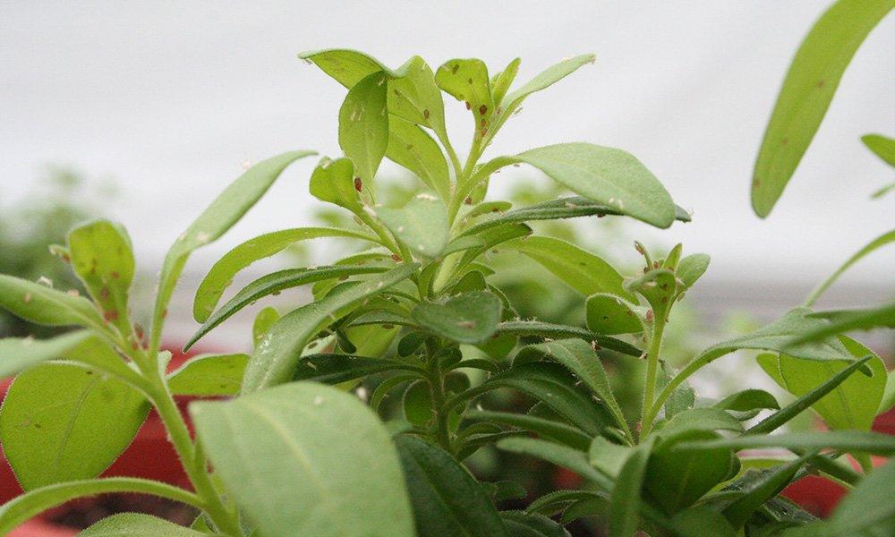 Schimmels en bacteriën die in planten leven kunnen helpen om planten weerbaarder te maken tegen ziekten en plagen.